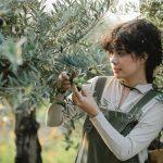 La resa delle olive, cos'è? Significato e spiegazione